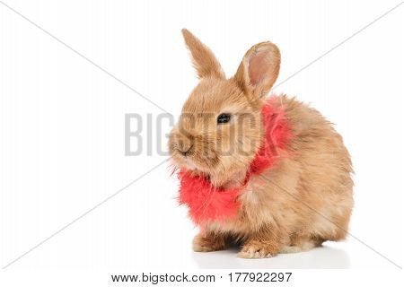 Portrait of a beautiful redhead rabbit with a red feather scarf, isolated on white background