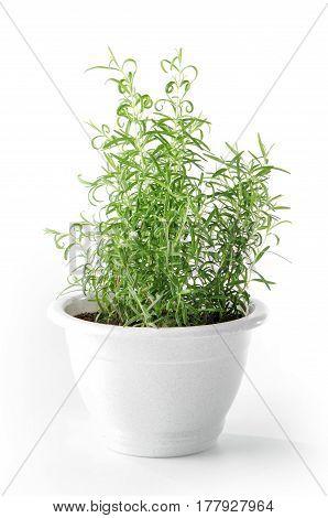 rosemary plant in flower pot on white  background