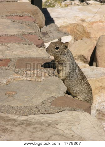 A squirrel begging for some food in the Grand Canyon National Park poster