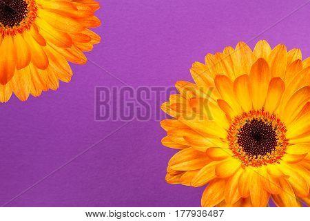 bright orange gerbera flowers on a rich purple background