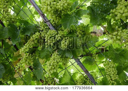 green big bunches of grapes hanging to ripen on the branches to an iron rack