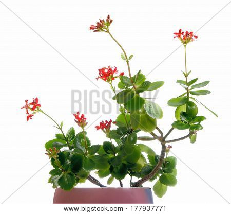 Kalanchoe in a pot isolated on the white