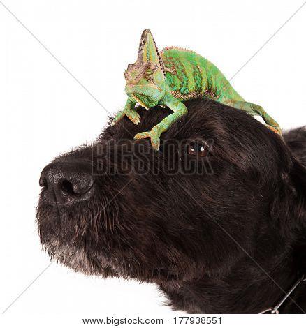 Veiled chameleon (chamaeleo calyptratus) sitting on head of black dog on white background.