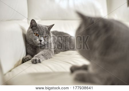 Mating purebred cats lying on sofa indoors