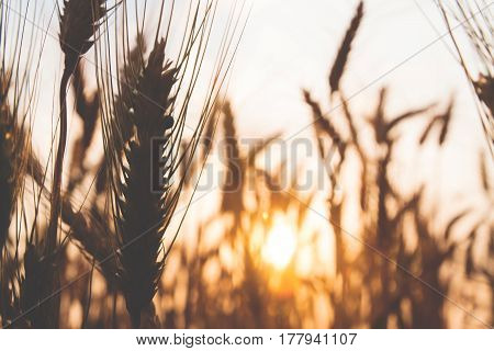 Blurred background of sunset with field of wheat rice Spring and summer