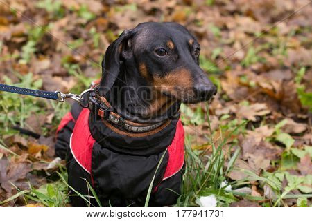 Vertical portrait of a black dog breed dachshund,, the street on a background of autumn fallen leaves in red and black jacket