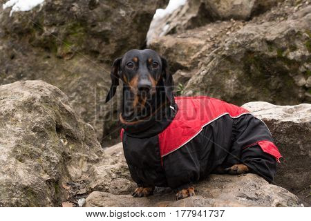 Vertical portrait of a black dachshund dog breed in full growth, in the street on a background of gray stones, red and black jacket