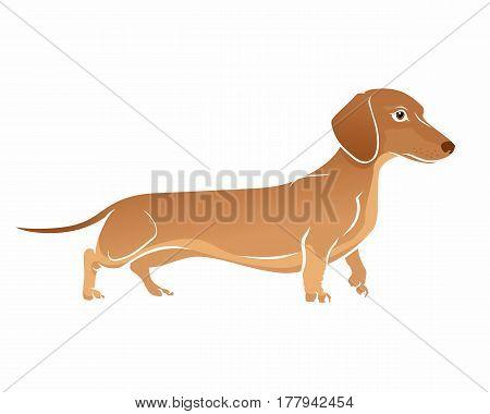 Brown Dachshund. Dog vector illustration on white