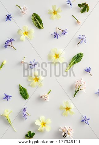 Spring flower background. Floral background with primrose and scilla flowers.