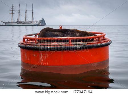 Sea lion in Valparaiso harbor Chile South america