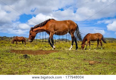 Horses In Easter Island Field