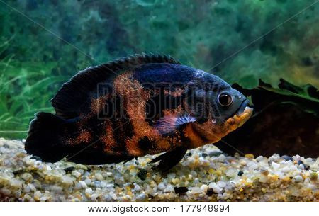 beautiful large astronotus black with red spots floats in the aquarium