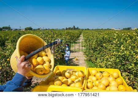 Picker at work unloading his pail full of lemons into bigger fruitboxes