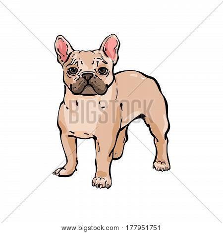 Hand Drawn Vector French Bulldog