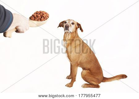 Feeding dog with dry food from big wooden spoon. Isolated on the white background.