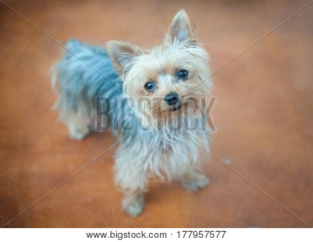 Cute little dog looking at the camera