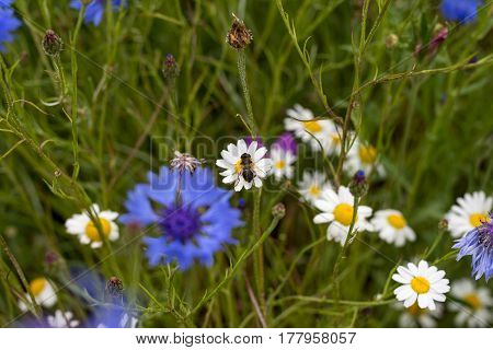 A Bee Landed On A Daisy In A Field Of Wild Country Flowers And Plants
