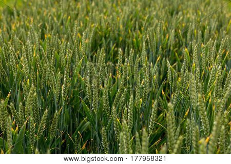 Field Of Fresh Green Corn