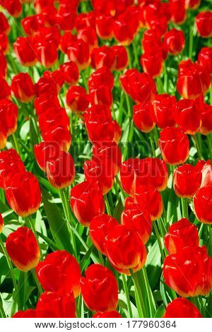 Tulip. Fresh orange tulips field. Taken in closeup with a view from above. Flower field of colourful tulips in spring. Tulip background. Keukenhof garden Netherlands. Group of blooming red tulips.