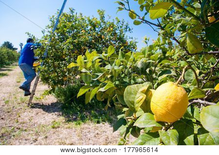 Closeup view of lemons on tree and pickers at work in the background