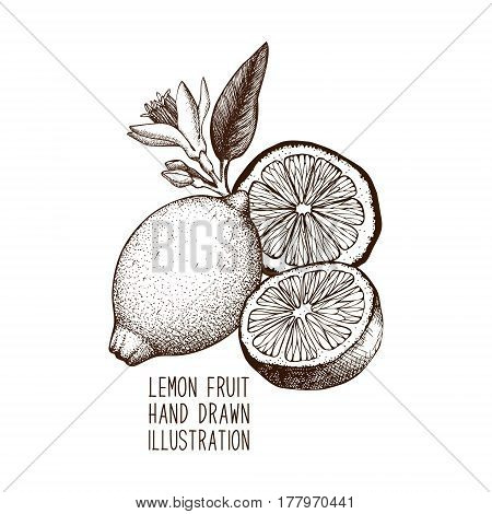 Ink hand drawn lemon isolated on white background. Vector illustration of highly detailed citrus fruits