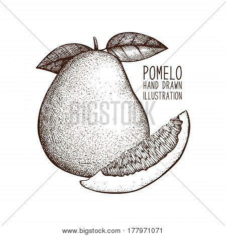 Ink hand drawn pomelo isolated on white background. Vector illustration of highly detailed citrus fruits