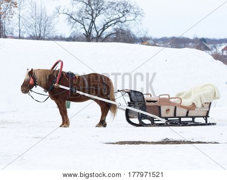 Suzdal -13 February 2017: A harnessed red horse with a sleigh stands outside on a winter day February 13 2017 Suzdal Vladimir Region Russia
