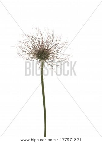 Unusual spring green-pink fluffy flower of bulbous plant on thin ptktyjv stem on white isolated background