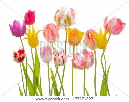 Bright beautiful flowers of tender spring tulips various varieties and flowers on an isolated white background