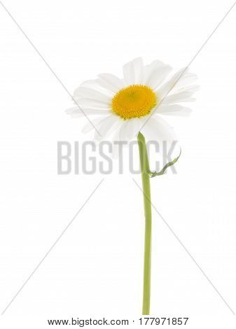 A delicate beautiful fragile chamomile flower with white petals and a yellow center and with a thin green curved stem and a small leaf on a white isolated background