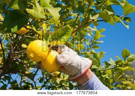 Hand of a lemon picker at work