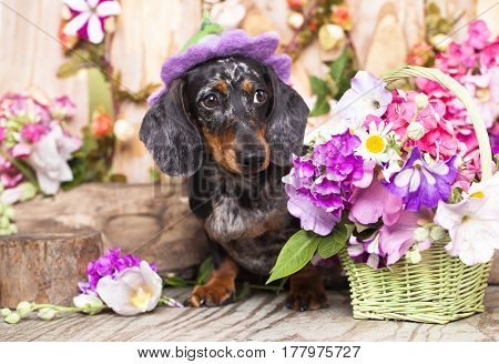Dachshund the dog in the hat among the flowers