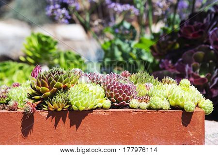 Set succulent plants in a clay pot on the garden background