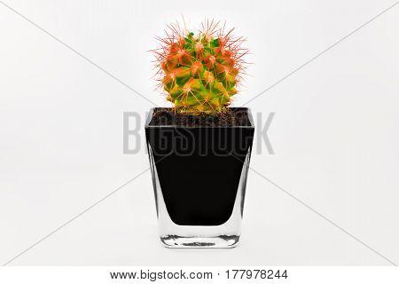 White background isolated cactus in vase beauty