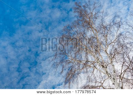 Tall Tree Birch On Blue With White Sky. Upper Branches Of Woods Of Birch In Park. Bottom View And Copyspace.