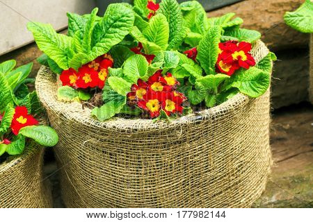 Red Flowers In Big Sack Pots Made Of Natural Fabric Close Up. You Can Buy It On The Market For Your