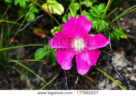 Wild Briar Plant Flower With Vibrant Purple Petals In Wild Field In Poland