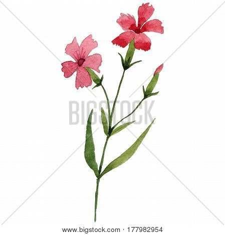 Wildflower carnation flower in a watercolor style isolated. Full name of the plant: garden carnation. Aquarelle wild flower for background, texture, wrapper pattern, frame or border.