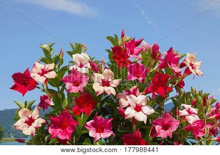 Mandevilla Creeper Plant