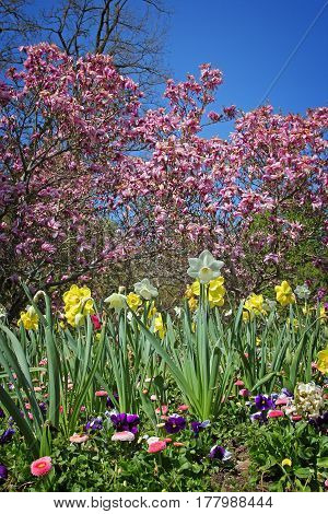 Flowerbed With Narcissus, Violas And Bellis, Pink Magnolia