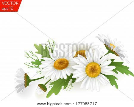 Realistic daisy, camomile flowers on transparent background.