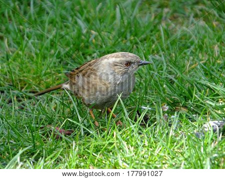 Hedge sparrow on grassed area during early spring