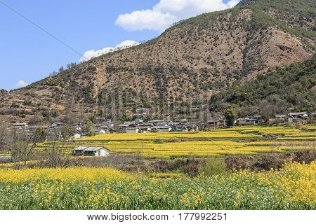 Aerial View Of Rapeseed Flowers Around Shigu Village Near Lijiang . Shigu Is In Yunnan, China, And W