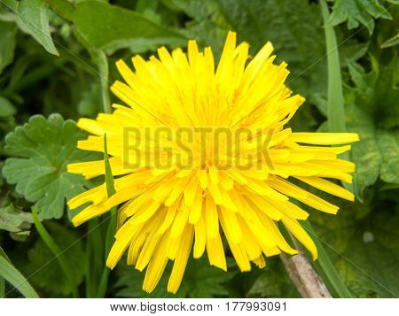 A lovely closeup of a yellow dandelion with a lush green background poster