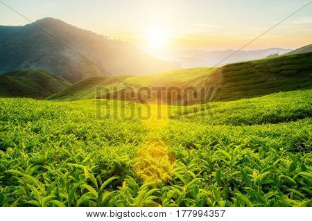 Tea plantation in Cameron highlands Malaysia at sunrise
