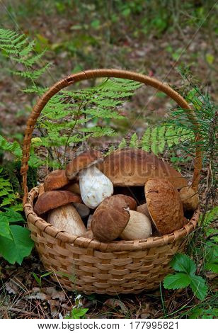 Basket with fresh Porcini Mushrooms in forest.