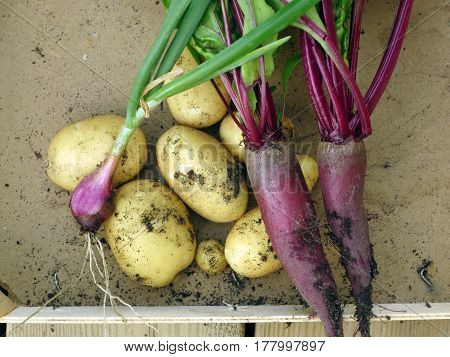 Today's fresh harvest: onion, potatoes and beets.