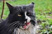Hungry Norwegian  licking his lips, Fluffy cat licks, Cat talking, angry cat poster