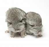two newborn chinchillas close up isolated on white background poster