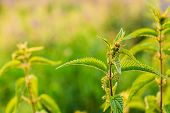 The Twig Of Wild Plant Nettle Or Stinging Nettle Or Urtica Dioica In Summer Spring Field At Sunset Sunrise. Close Up, Detail, At Green Background, Copyspace. poster